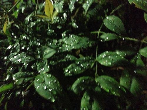 葉の水玉が照らされて