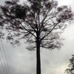 大きな木(朝)