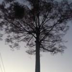 大きな木(夕方)