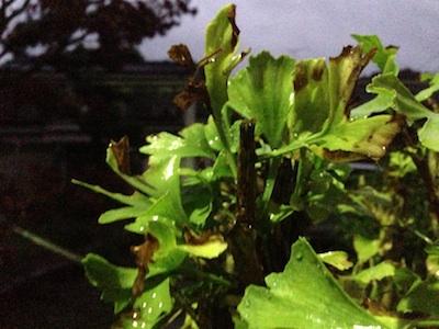 いちょうの葉